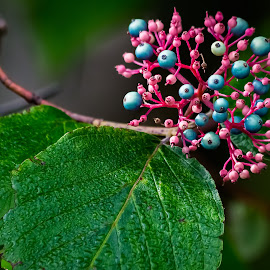 Berries by Dave Lipchen - Nature Up Close Other plants ( berries )