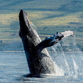 by Keith Sutherland - Uncategorized All Uncategorized ( humpback whale     maui )