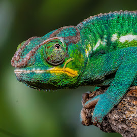 Chameleon by Garry Chisholm - Animals Reptiles ( garry chisholm, macro, lizard, nature, reptile, chameleon )