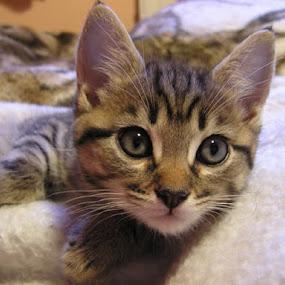 by Ros Dando - Animals - Cats Portraits ( pwcbabyanimals )