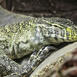 RUT lizard 02 by Michael Moore - Animals Reptiles