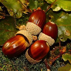 Les fruits du chêne by Gérard CHATENET - Nature Up Close Other plants