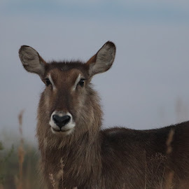Waterbuck by Susan Botha - Novices Only Wildlife