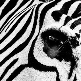 by Albin Bezjak - Black & White Animals