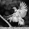 Flicker Spread Wings BW.jpg