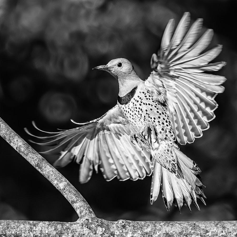 Flicker Landing by Carl Albro - Black & White Animals ( bird, flying, woodpeckers, black and white, northern flicker, bif )