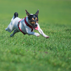 let's run by Ditte Foto - Animals - Dogs Running ( park, dog, running, small dog, animal )