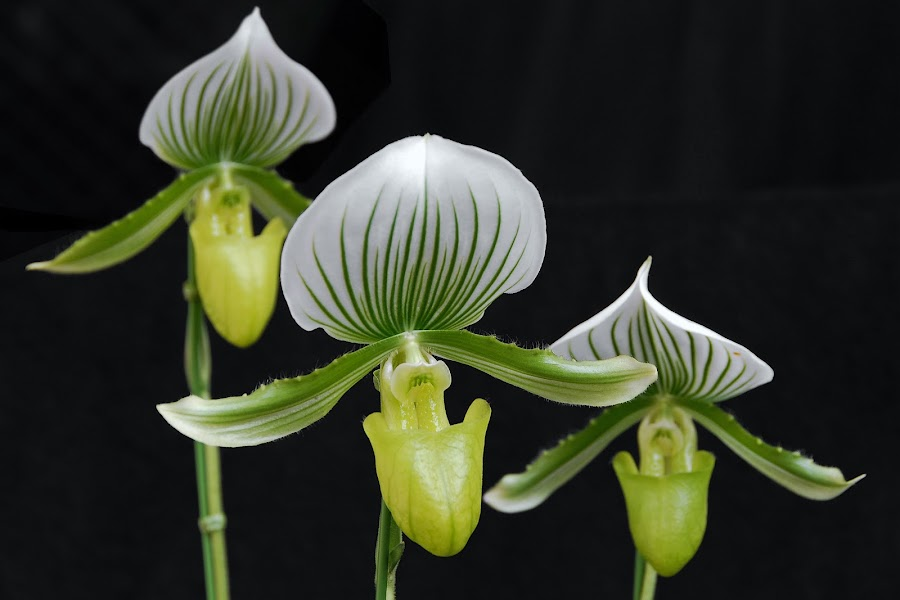 Maudiae by Paul Atkinson - Nature Up Close Flowers - 2011-2013 ( paphiopedilum, maudiae, paph, slipper, orchid, nature, green, tropical, white, bloom, flower, floral )