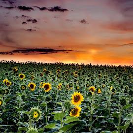 Sunflower field by Ghimpe Cristian - Landscapes Prairies, Meadows & Fields