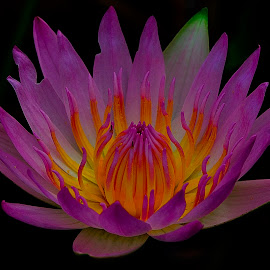 Pink sleeping lotus by Francois Wolfaardt - Flowers Single Flower ( contrast, macro, lotus, lily, petals, pink, flower, colours )