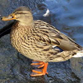 Duck by Welsh Hawk - Animals Sea Creatures