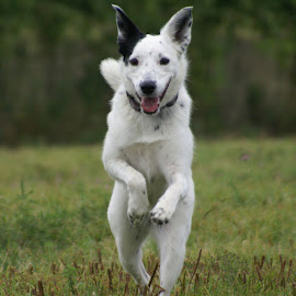 Leap and Laugh by Jennifer Minty - Animals - Dogs Running ( dog park, fetch, pet, play, run, dog, outside, friend )