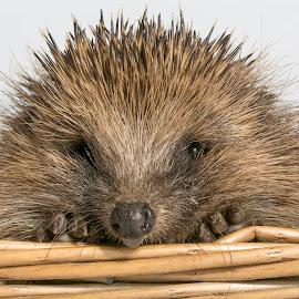 hedgehog by Doris B - Animals Other ( wild, hedgehog, spikes, nature, funny, wildlife, animal )