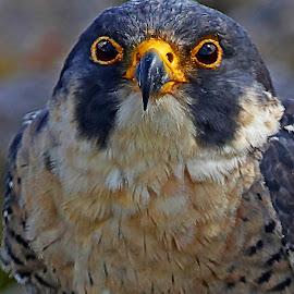 Peregrine Falcon  by Wilson Beckett - Animals Birds