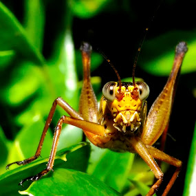 My Cricet by Ramlan Abdul Jalil - Animals Insects & Spiders