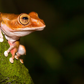 Madagascar Tree Frog by Steve Bulford - Animals Amphibians ( boehmei, endemic, steve bulford, park, frog, tree-frog, treefrog, tropical, endangered, boophis madagascariensis, night, madagascar, rainforest,  )