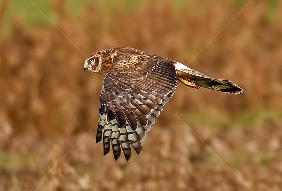 Northern Harrier by Herb Houghton - Animals Birds ( northern harrier, bird of prey, marsh hawk, raptor, hawk, harrier )