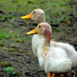 Baby by Asif Bora - Animals Birds