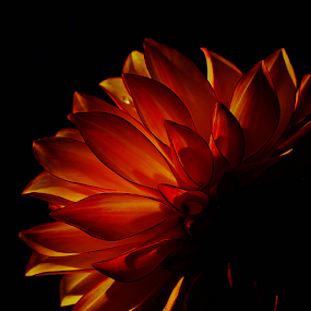 Orange Dahlia by Of-the-Star Designs - Flowers Single Flower ( orange, dark, sunshine, yellow, deep, dahlia, blossom, floral, flower )
