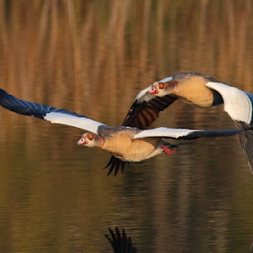 Egyptian Geese by Andrew Keys - Animals Birds