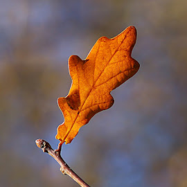 Single Oak Leaf by Chrissie Barrow - Nature Up Close Leaves & Grasses ( orange, nature, autumn, oak, leaf, bokeh, closeup )