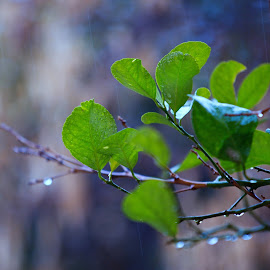 Rain Rain by Azher S Saleh - Nature Up Close Leaves & Grasses ( leaves )