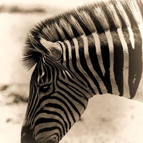 Zebra by Johann Bekker - Novices Only Wildlife ( roadtrip 2017, addo 2017 )