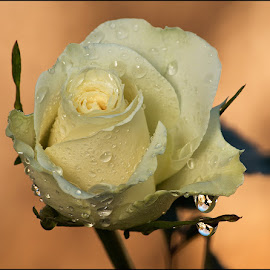 by Rudi Kleynhans - Flowers Single Flower