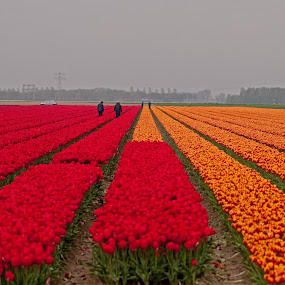Tulip field by BertJan Niezing - Landscapes Prairies, Meadows & Fields