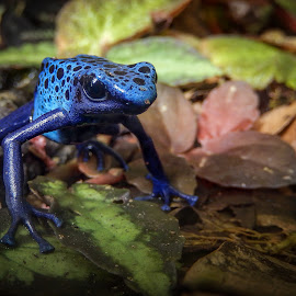 Poison Dart Frog by Dawn Hoehn Hagler - Animals Amphibians ( blue, frog, arizona, tucson, amphibian, tucson botanical gardens, poison dart frog,  )