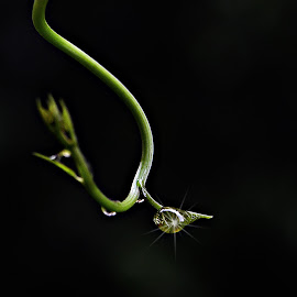 A Dew Drop on tender shoot by Prasanta Das - Nature Up Close Other plants ( shoot, drop, dew, tender )