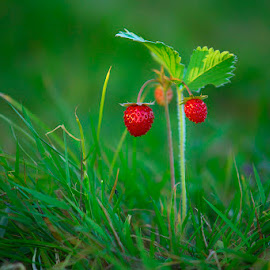 Wild strawberries by Costin Mugurel - Food & Drink Fruits & Vegetables ( wild, red, nature, green, close up, strawberry )