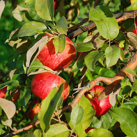 Apples On A Tree 1 by Philip Molyneux - Nature Up Close Gardens & Produce