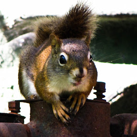 Squirrel  by Julie Fayant - Animals Other ( furryrodent, mammel, rodent, squirrel, animal )