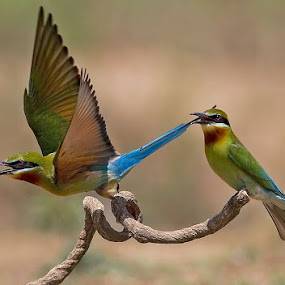 BLUE-TAILED BEE-EATER PAIR (action) by Mohan Munivenkatappa - Animals Birds
