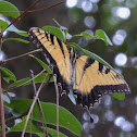 Eastern Tiger Swallowtail ♂