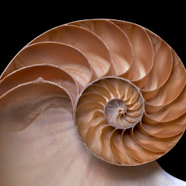 fibonacci sequence by Adjie Tjokrosoedarmo - Artistic Objects Still Life ( seashell, sea, nautilus, beach, fibonacci )