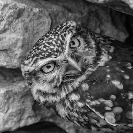 Little owl by Garry Chisholm - Black & White Animals ( raptor, bird of prey, nature, little owl, garry chisholm )