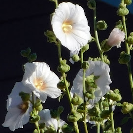 FLOWERS by Cynthia Dodd - Novices Only Flowers & Plants ( fragrant, delicate, wildflower, flowers, soft )