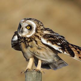 Short-eared Owl by Hans Olav Beck - Animals Birds ( wild, wilderness, mountain, april, spring, norway, short-eared owl )
