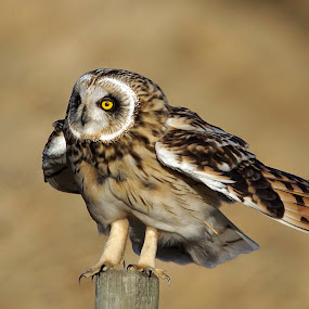 Short-eared Owl by Hans Olav Beck - Animals Birds ( wild, wilderness, mountain, april, spring, norway, short-eared owl )