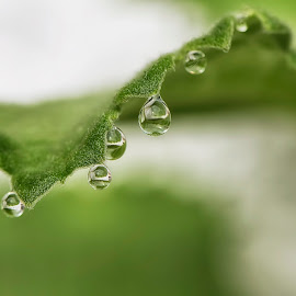 Morning Drops by Thesz Clariza - Nature Up Close Water ( #waterdrops #aftertherain #nature )