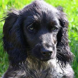 Cutie Pie by Chrissie Barrow - Animals - Dogs Puppies ( roan, cocker spaniel, white, portrait, eyes, pet, ears, fur, puppy, grey, dog, nose, black )