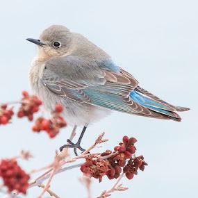 Female Mountain Bluebird by Brandon Downing - Animals Birds ( macro, winter, nature, snow, art, colorado, wildlife, fine, birding )