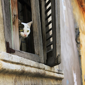 CatinWindow by Mahmut Mollaahmed - Animals - Cats Portraits ( cats, cat,  pets,  window,  pet )