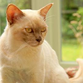 Tilly by Caroline Beaumont - Animals - Cats Portraits ( kitten, cat, chocolate tortie, burmese )