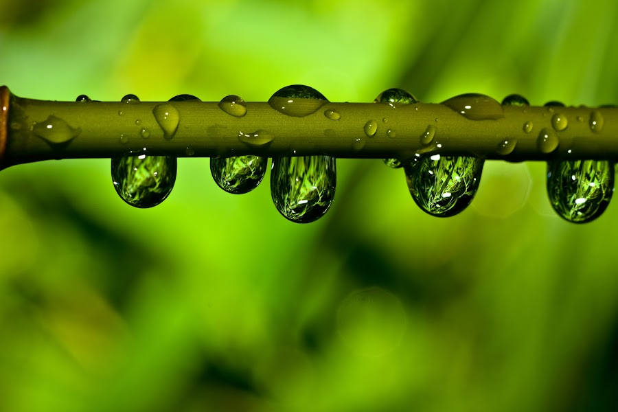 Rainmirror by Ralf Harimau Weinand - Nature Up Close Leaves & Grasses ( bambus, bamboo, tropfen, drops, raindrops, regen, rain )