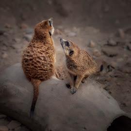 Perritos de la Pradera by Jomabesa Jmb - Animals Other Mammals ( animales, perritos de las praderas, yustaposicion, mamimeros,  )