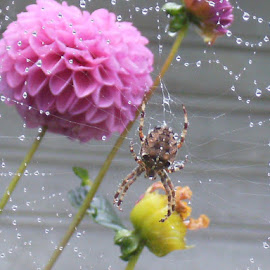 spiderery dew by Debra Reynolds - Nature Up Close Webs