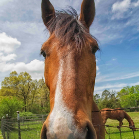 Curious by Michael Buffington - Animals Horses ( face, muzzle, green, horse, inquisitive, close up, pasture, sky, curious, environment, nature, blue, brown, natural, animal )